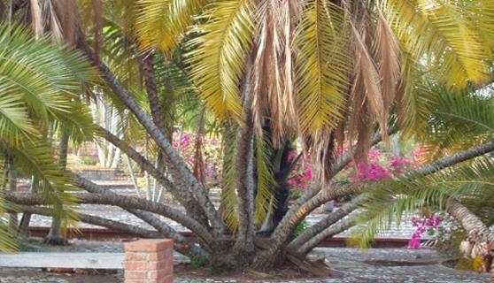Matas de cocos agrupadas del jardin botanico jardin for Matas de jardin
